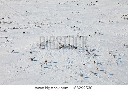 Aerial view of herd of reindeer, which run on snow in tundra.
