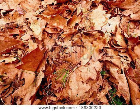 Oak Leaves. Autumn Park Ground With Carpet Of Dry Orange Oak Leaves, Broken Twigs And Long Pine Need