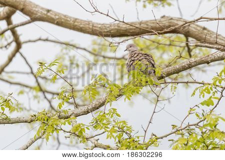 Collared dove (Streptopelia decaocto) in high tree