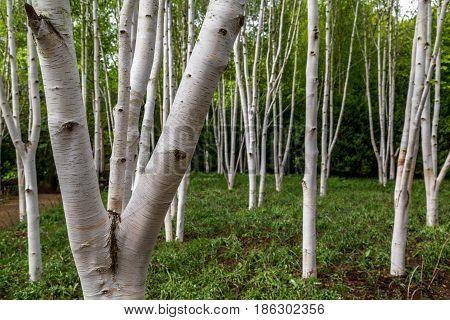 Silver birch trees (betula pendula) in woodland