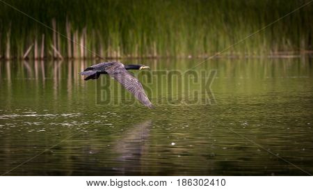 Comorant (Phalacrocorax carbo) in flight over the rural river Thames in UK