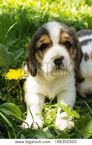 Beautiful little puppy of the Beagle breed sits in the grass on a bright sunny day