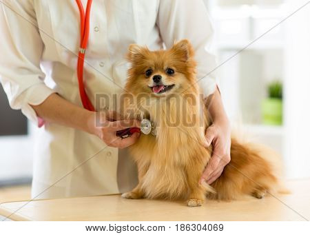 vet examining dog breeds Spitz with stethoscope in clinic