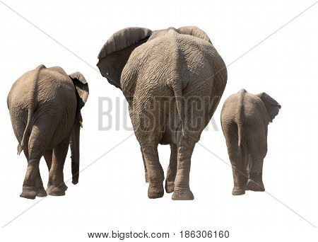 Family of Elephants, backside, on the walk, isolated on white background. Seen and shot in namibia, africa.