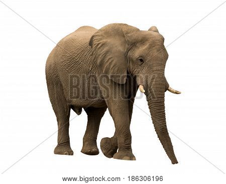 African desert Elephant isolated on white background, seen and shot in namibia, africa.