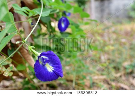 Organic fresh butterfly pea background and empty space for text . Thai herb flowers anchan.
