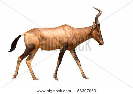 Portrait of wakling Red Hartebeest, isolated on white background, seen in namibia, africa.
