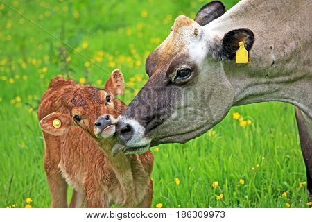 Cow cleaning her calf in a field