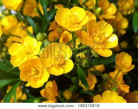 Erantis (spring) family of buttercup growing in the city of Krivoi Rog in Ukraine