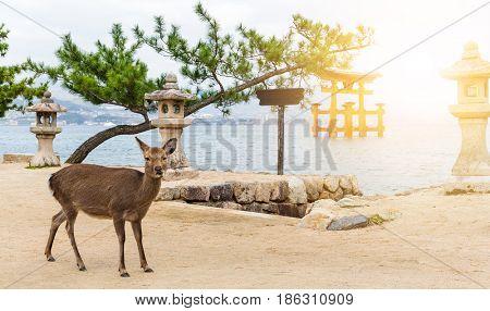 Itsukushima Shrine and deer with sunshine