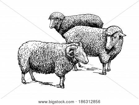 Vector hand drawn illustration of flock of sheep in vintage engraved style. Black and white isolated on white.