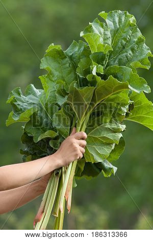 hands holding fresh leaves of rhubarb on the green blurred background