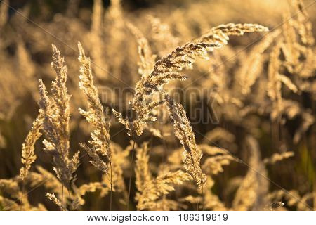 Spikes of field grass in the rays of the sun - perennial flowers in a meadow on a natural blurred golden background.