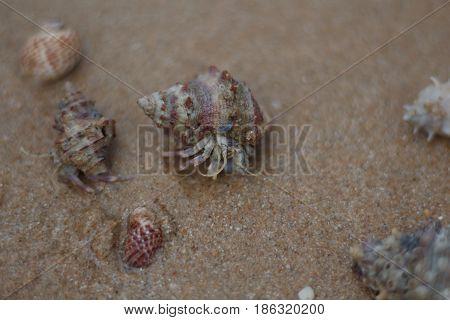 Hermit crab walking along on beach island
