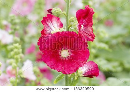 Close up image of red beautiful hollyhock flowers in garden