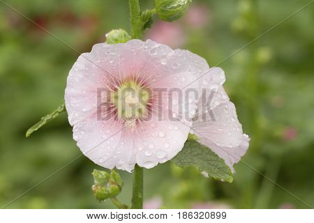 Close up image of pink beautiful hollyhock flowers in garden