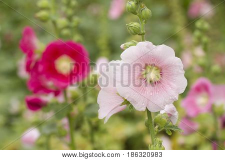 Red And Pink Hollyhock Flowers In Garden