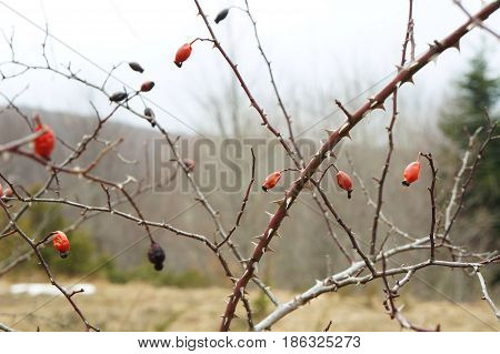 Rosehip fruits in winter with water drops, selective focus