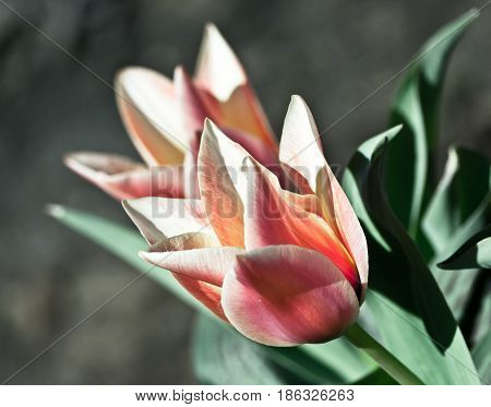 two flowering tulips in a garden lit by sunlight, on a gray background flowering plants of orange, pink and white color, processed, preset, spring day,