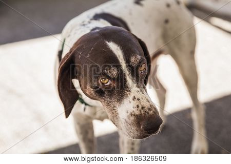 German Shorthaired Pointer looking pensively at the camera.