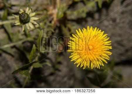 Alone yellow dandelion Dandelion in the city