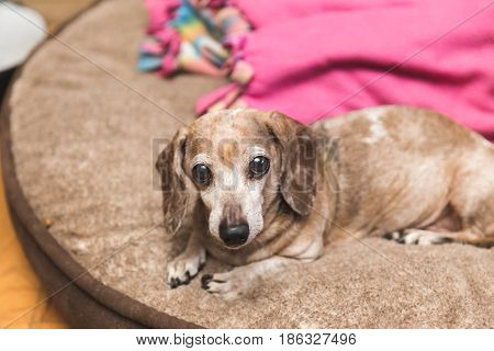 Elderly dachsund dog with brown and white fur laying on a dog bed.