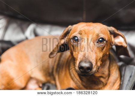 Adorable weinder dog or dachsund sitting on a jacket on a couch and looking at the camera.