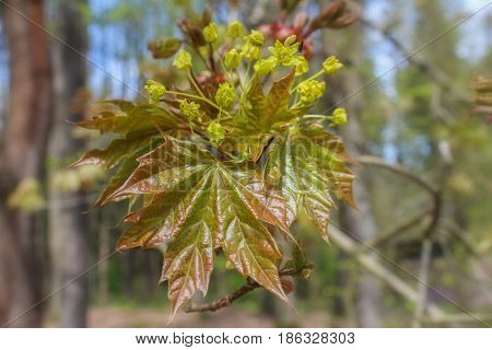 Tree Bloom Of Acer With Blured Background