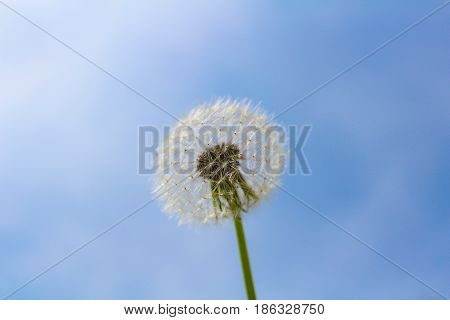 Blooming White Blowball With Blue Sky And Clouds