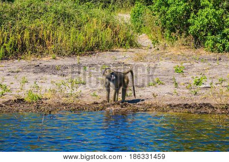 Monkey baboon at the watering. Chobe National Park in Botswana. The concept of extreme and exotic tourism in Okavango Delta