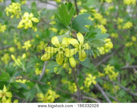 Close up view of yellow blossoming flowers of blackcurrant or Ribes nigrum blossoms