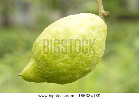 Green citrus medica fruit on green background poster