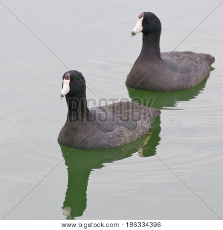 Pair of American Coots Fulica americana swimming on green water