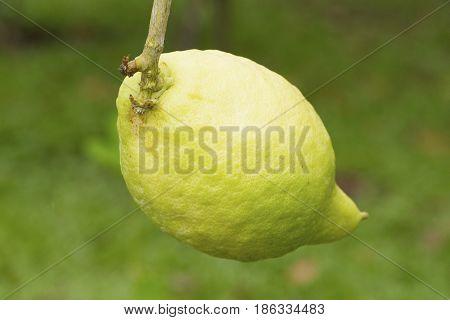 Green citrus medica fruit on green background