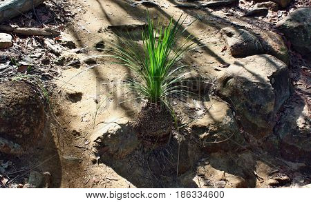 Young Palm Tree At Ngungun Glass House Mountains National Park