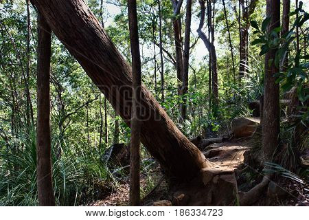 Fallen Tree At Ngungun Glass House Mountains National Park