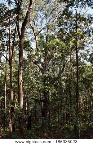 Huge Tree At Ngungun Glass House Mountains National Park