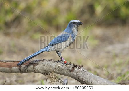 Endangered Scrub Jay on stick with grass background