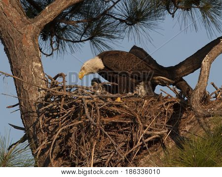 Bald Eagle On Nest In Pine Tree In West Central Florida