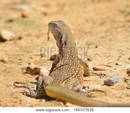Butterfly lizards or Small-scaled lizards. Eating food