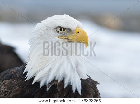Bald eagle portrait in Homer with snow background