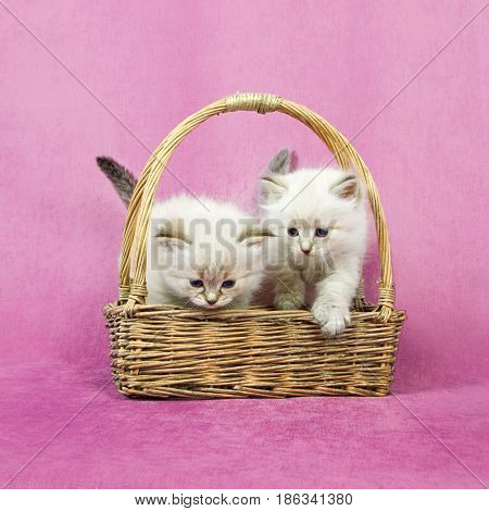 Small siberian neva masquerade colorpoint kittens in basket