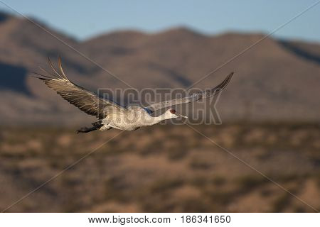 Sandhill Crane Flying With Blue Sky And Mountains In Background