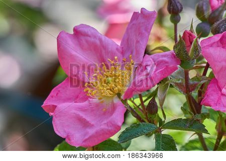 Pink  Rose In Bloom In The Garden