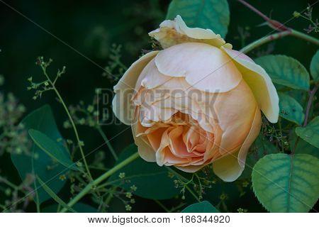 Yellow  Rose In Bloom In The Garden