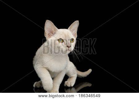 Playful White Burmese Kitten with green eyes on Isolated Black Background