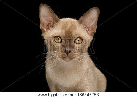 Portrait of Burmese Kitten with yellow eyes Chocolate fur on Isolated Black Background, front view