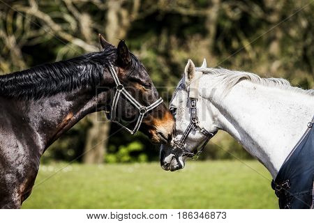 Two Horses Kissing On A Rural Field