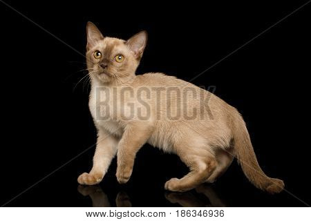 Burmese Kitten with yellow eyes Chocolate fur on Isolated Black Background, side view