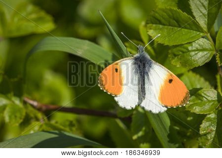 Orange Tip Butterfly On A Green Leaf